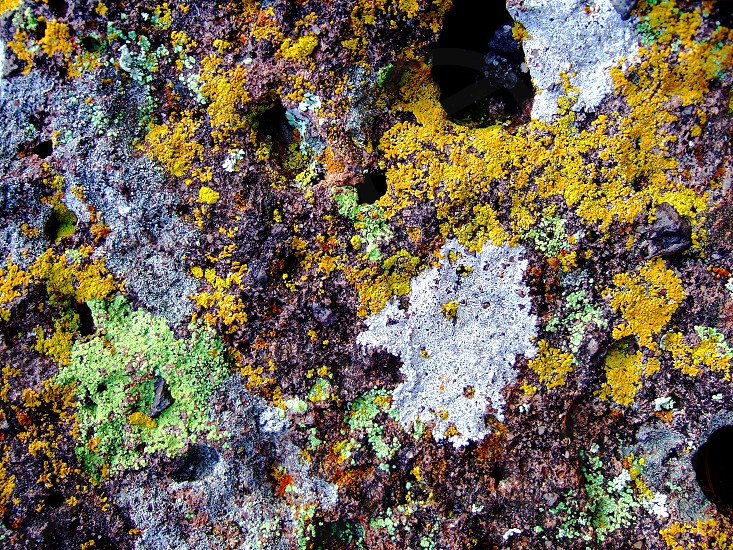 Detail of a rock covered with green and yellow lichen in the Mojave desert CA photo