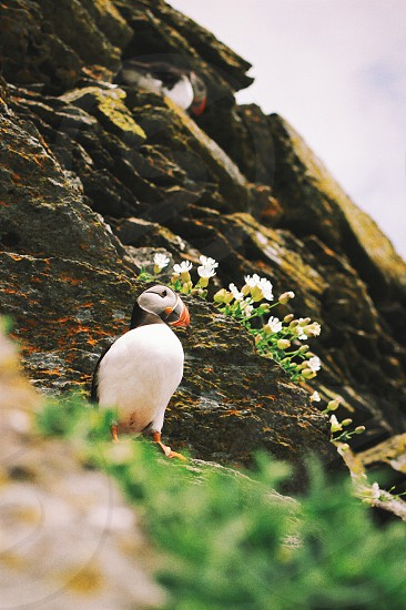 Puffins nest on UNESCO World Heritage Site Skellig Michael an island off the Kerry peninsula in Ireland. VSCO G2. photo