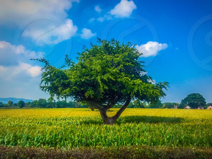 photo of lone tree on green cornfield in distant of green trees under cloudy sky during daytime photo
