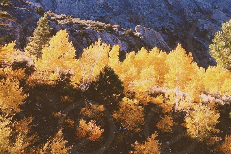 yellow trees photo