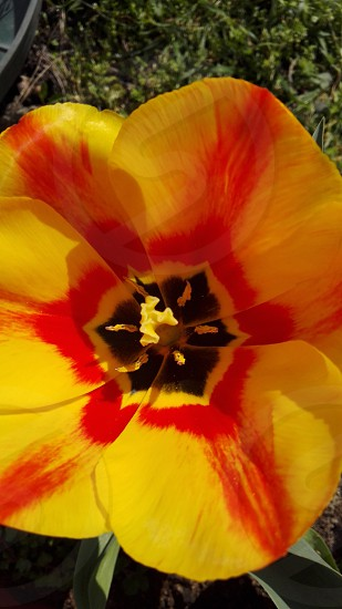 closeup photograph yellow and red mallow flower photo
