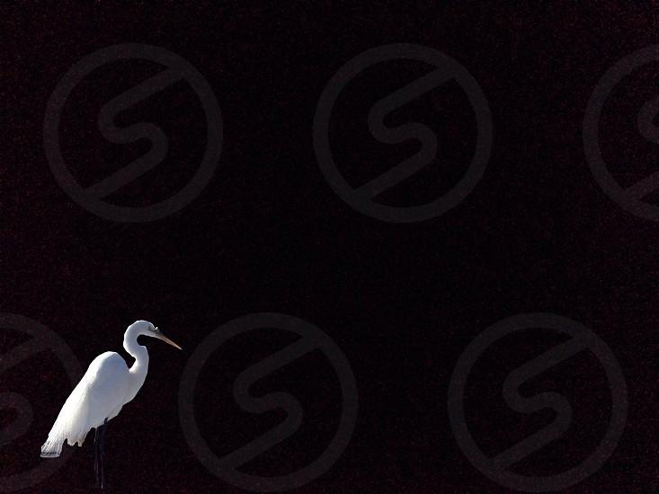 white pelican  photo