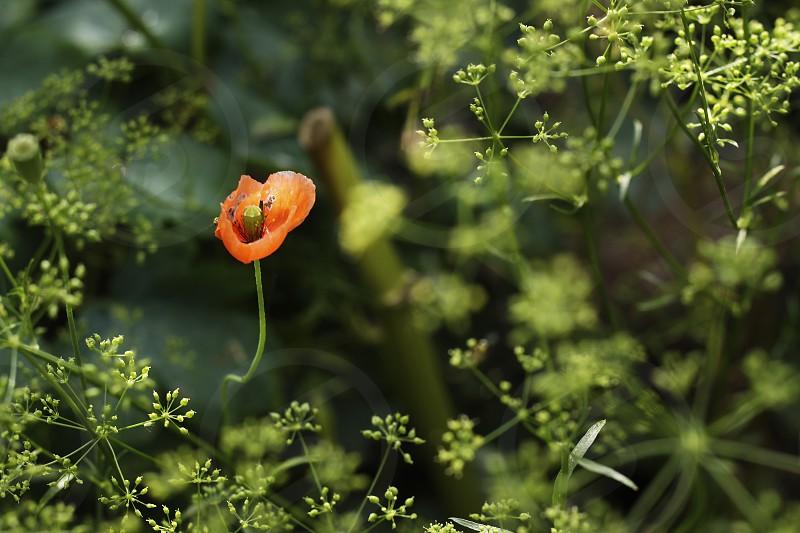 poppy spring gardening green photo