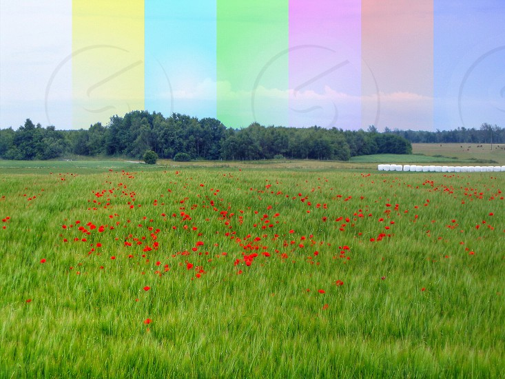 view of green grassy field with red flowers photo