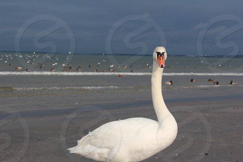 sea baltic winter swan wassup background horizon winter wind beach photo