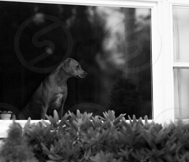 Dog waiting on her master... photo
