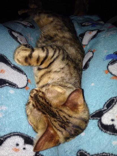 Bengal cat sleeping photo