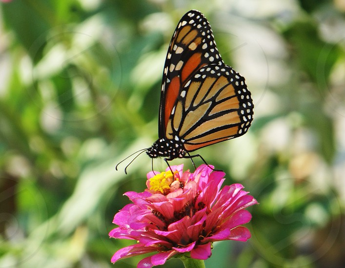 monarch butterfly macro photography photo