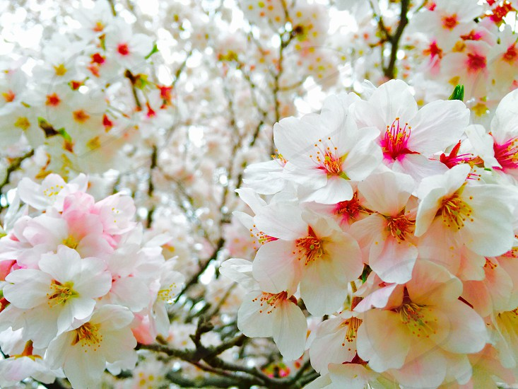 white pink petal blossom tree flowers close up photography photo