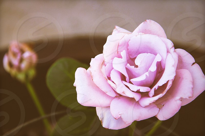 roses flowers garden nature soft pink love beautiful simple imperfection  photo
