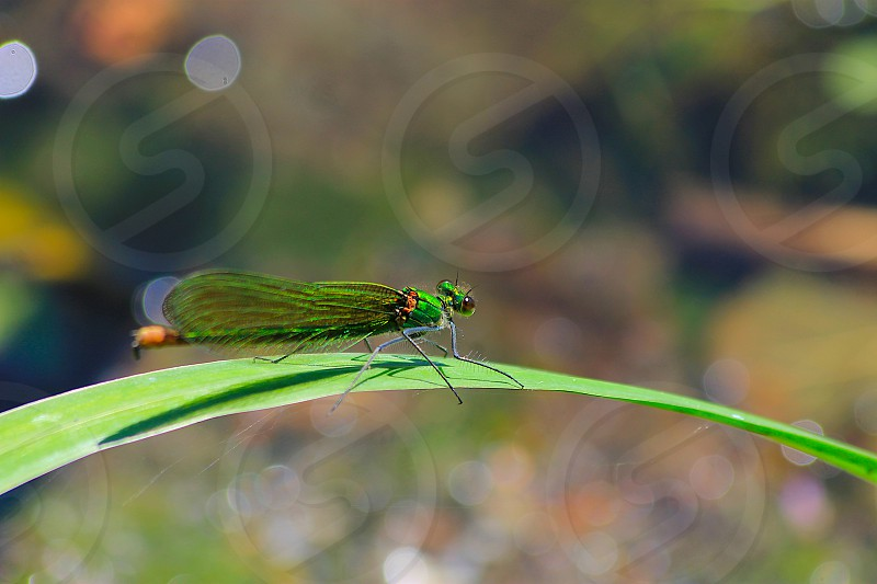 Emerald green dragonfly landed on a river leaf photo
