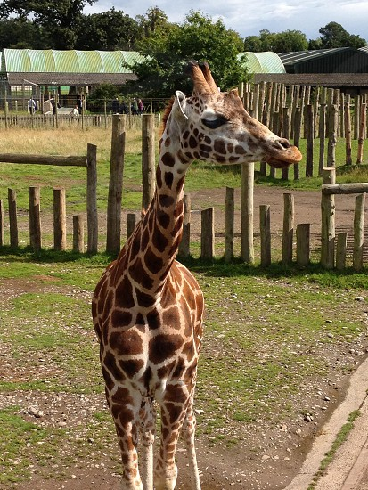 Giraffe at Blair Drummond Safari Park Scotland UK photo