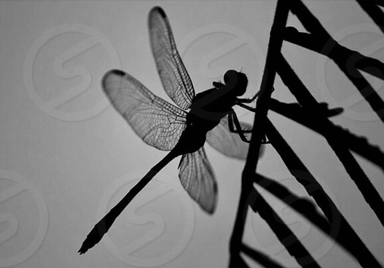 silhouette of dragonfly photo
