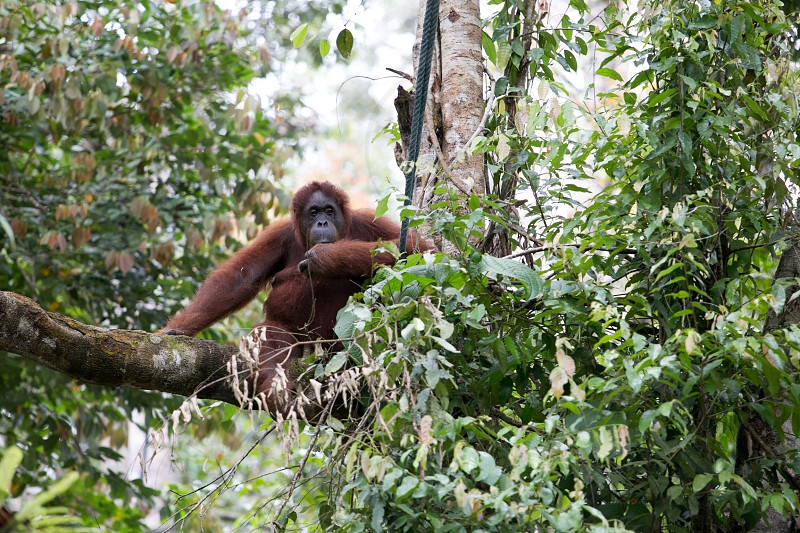 Orang Utan in Borneo photo