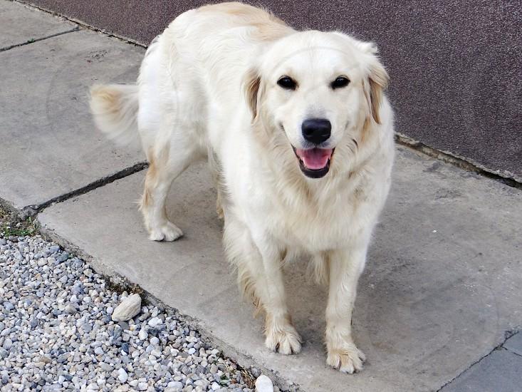 white long haired dog photo