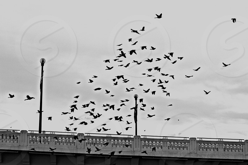 Flock of birds flying near Centre Street Bridge in Calgary Alberta Canada photo