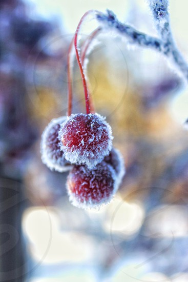 ice storm winter landscape tree ice ice covered tree nature cold snow frost hoarfrost cherries red freezing photo