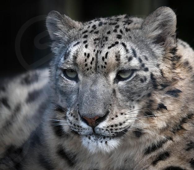 Snow Leopard (Panthera uncia) photo