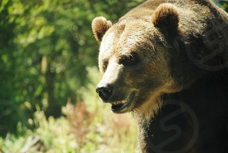 bear wild wildlife animal photo