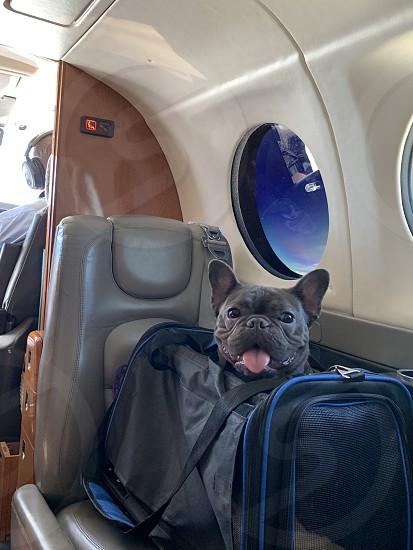 Air plane? Frenchielife  French bulldog photo
