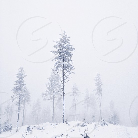 white snow covered and foggy woods photo
