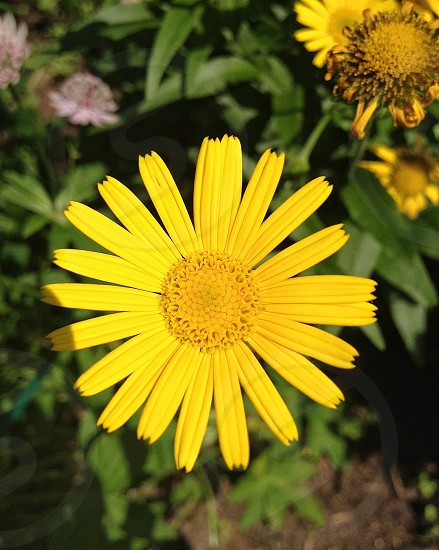 yellow flower with long petals and yellow pollen blooming over green leaves during daytime photo