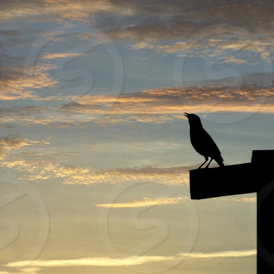 Grackle singing at Sunrise Park. Holly Hill Florida. Silhouette.  photo