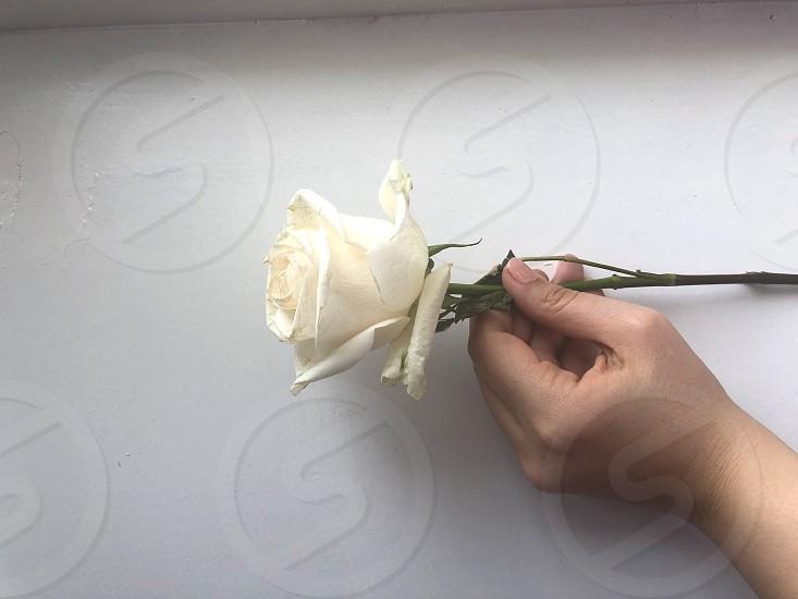 White rose white paper and tender sweet female hand. photo