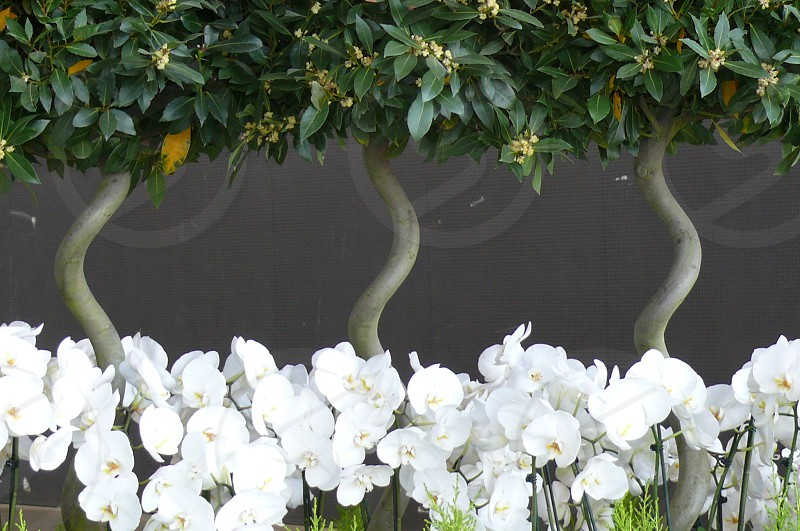 white orchids under lemon trees photo