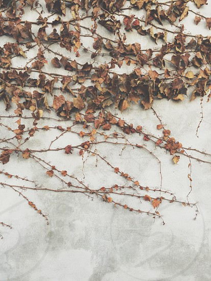 brown dry vine plant on white concrete wall photo