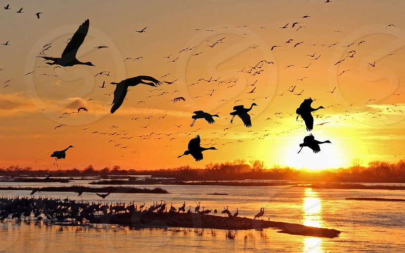 Thousands of visitors come to Kearney Nebraska each year to see the migration of sandhill cranes; every evening at sunset the birds converge by the hundreds on sandbanks in the Platte River. photo