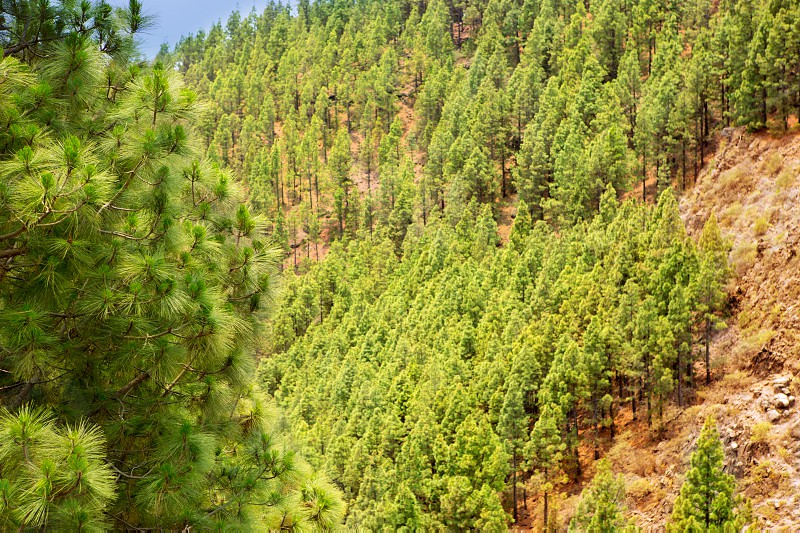 Arafo Corona Forestal in Teide National Park at Tenerife with Canary Pine photo