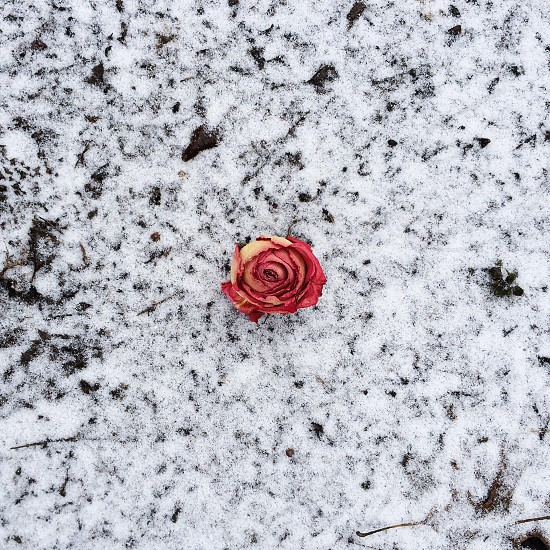 red frozen rose photo