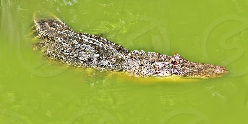 alligator animal bayou dragonfly gator louisiana murky predator swamp water photo