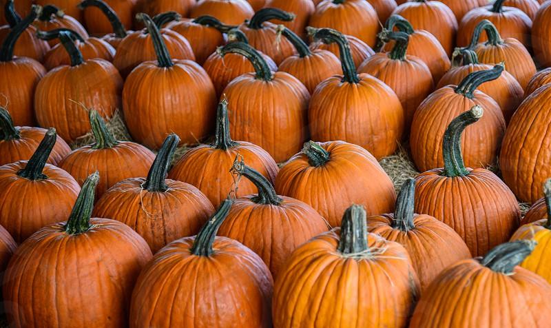 orange pumpkins on brown hay photo