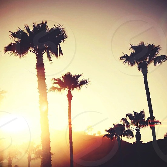tall palm trees photo