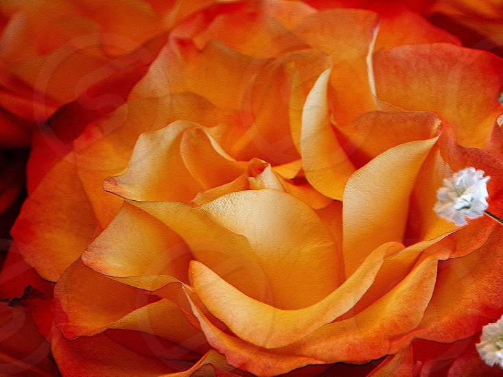 orange flower petals color shotsbygene Gene Myers photo