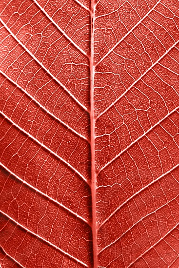Skeleton of natural leaf pattern of leaves with veins. Creative background for your ideas in a color of the year 2019 Living Coral pantone . Top view photo