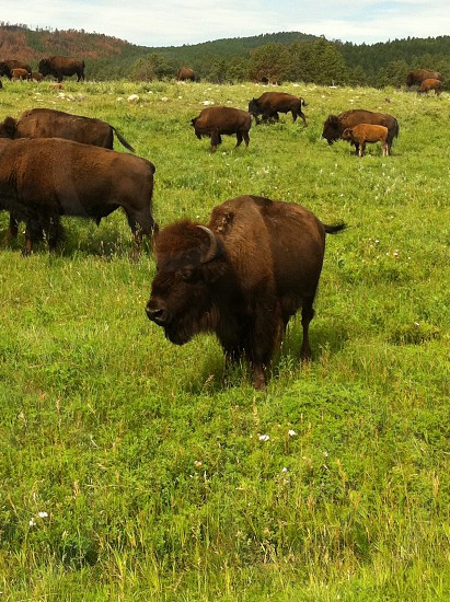 Bison buffalo AmericanNative AmericanplainsGreat PlainsDakotasWest photo