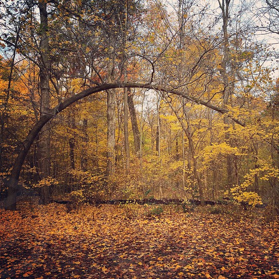 forest bent tree with yellow leaves  photo