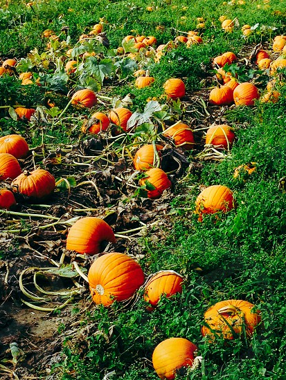 Pumpkin field pumpkins Halloween  photo