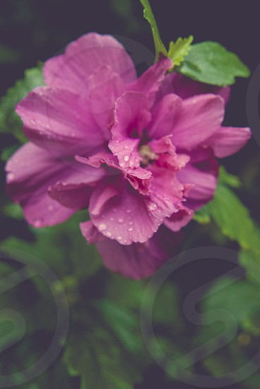 A bright pink flower with raindrops after a storm. photo