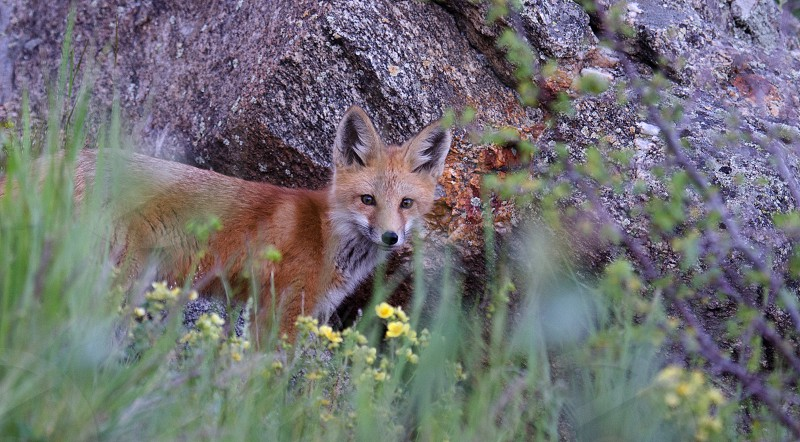A beautiful fox pup in the cool morning air of the Rocky Mountains photo