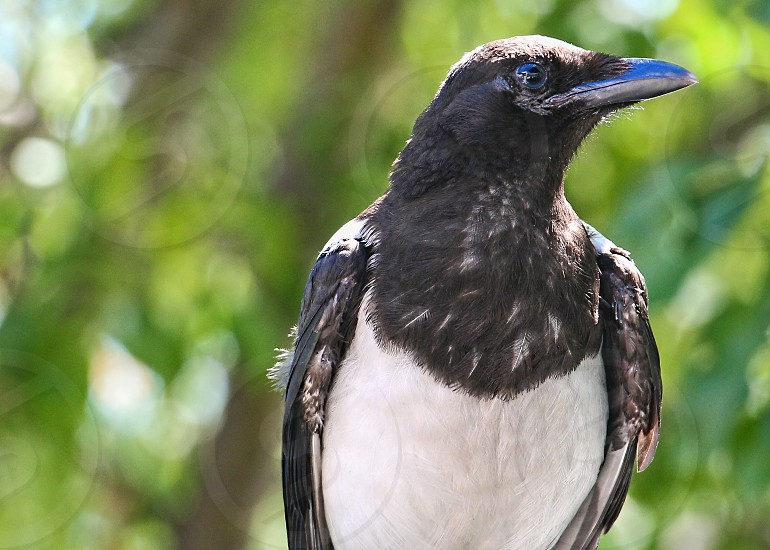 Close-up of a black and white magpie on a blurred ackground photo