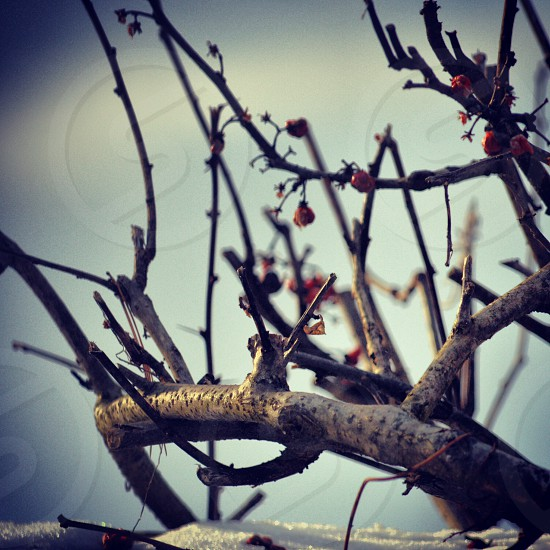 brown branch and red fruits photo