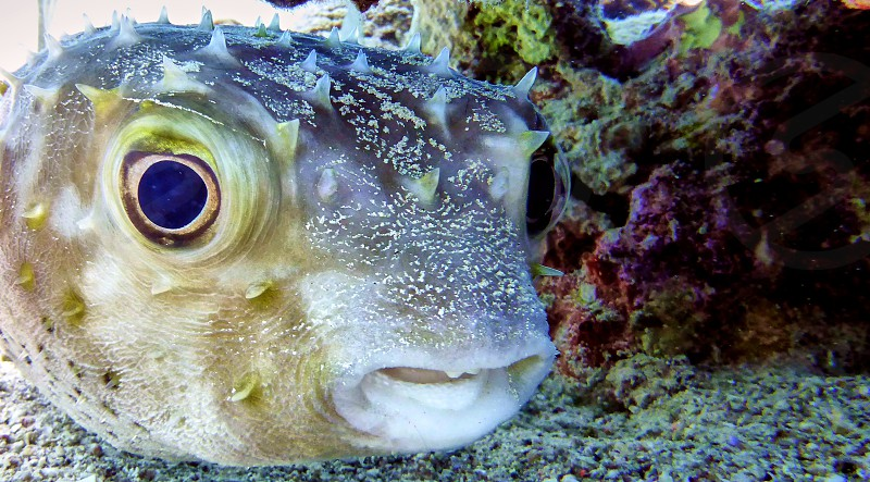 Bloated Puffer fish in Red sea Eilat Israel.                     photo