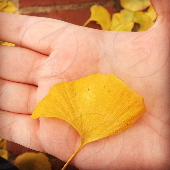 hand gingko biloba leaf leaves autumn fall yellow photo