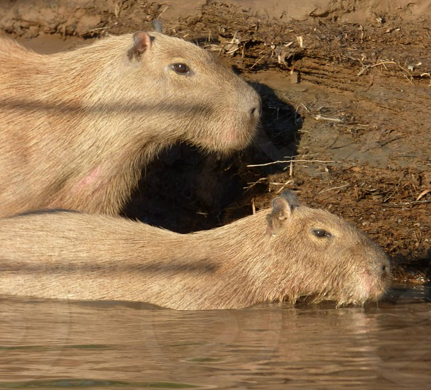 Two Capibaras  photo