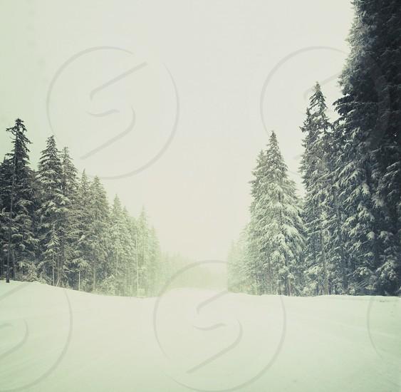gree pine tree photo