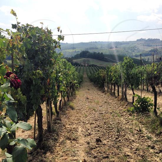 green vineyards photo